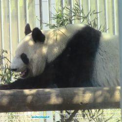 Tokyo: i panda dello zoo di Ueno