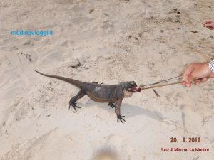 Le piccole iguane delle Bahamas
