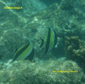 Video pesciolino bellicoso delle Maldive