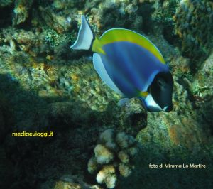 Il pesciolino bellicoso delle Maldive