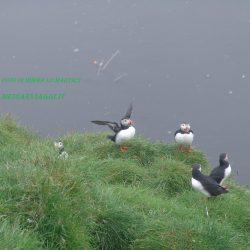 Islanda, dove vedere i buffi pulcinella di mare