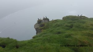 Pulcinella di mare, Islanda