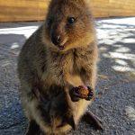 Rottnest Island, Australia: l'isola dei quokka felici